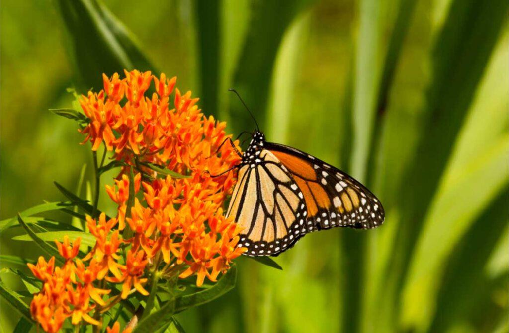 Brilliant orange monarch butterfly