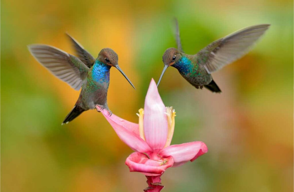 Whitetailed hillstar two hummingbirds