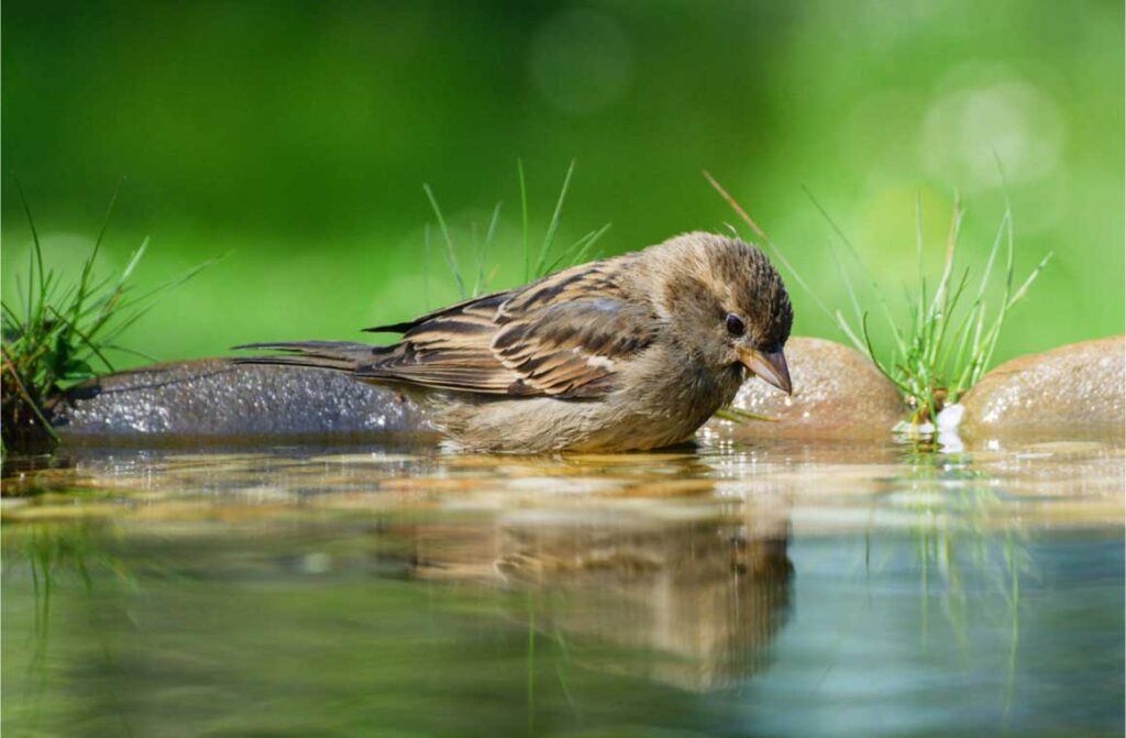Young tree sparrow montanus water